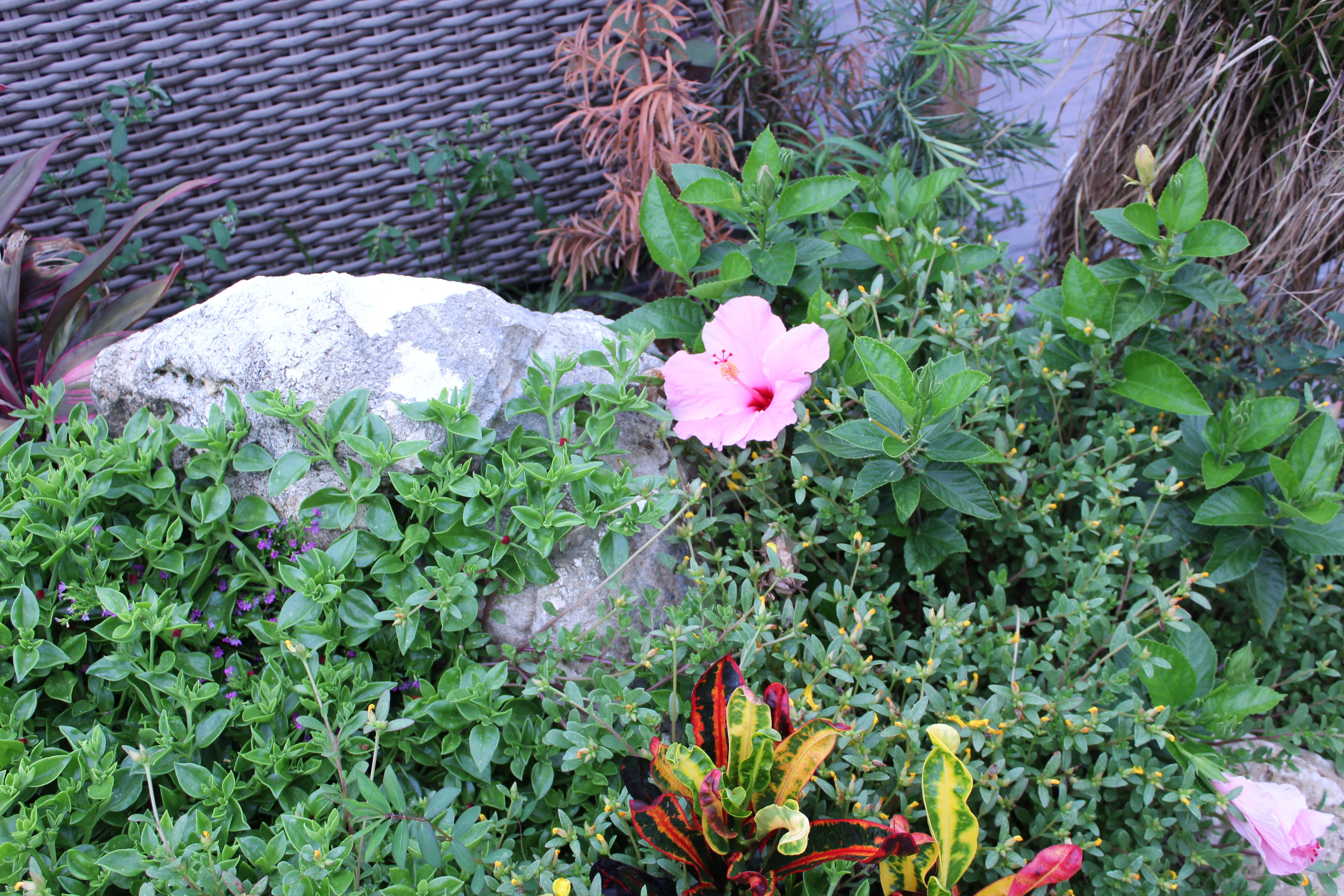 Hibiscus in the garden at the Reading Room St. Pete
